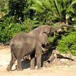 African Elephant grazing in Wild Kingdom