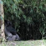 Gorilla resting at Wild Kingdom