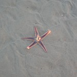 Live Starfish in shallow water on sandy beach.