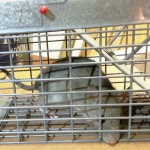 Live rat in a trap.